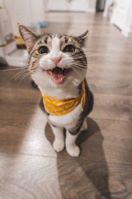 גור חתולים מילל